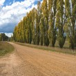 Stock Photo: Row of Poplars