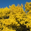Stock Photo: Flowering Wattle