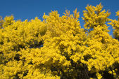 Flowering Wattle — Stock Photo