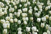 Tulipany — Zdjęcie stockowe