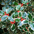 Variegated Holly — Stock Photo