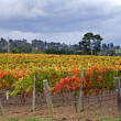 Autumn Vineyard Scene — Stock Photo