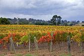 Autumn Vineyard Scene — Stock Photo