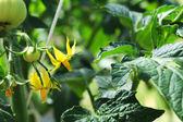 Tomato plant with blossom and fruit — Stock Photo