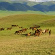 Kazakh horse — Stock Photo