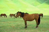 Kazakh horse — Stock Photo