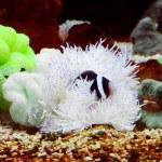 Ocellaris clownfish — Stock Photo
