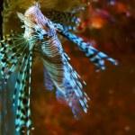 Lionfish — Stock Photo #3060636