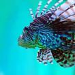 Lionfish — Stock Photo #3060648