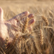 Wheat in the evening — Stock Photo