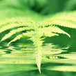 Fern — Stock Photo #2709803