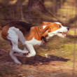 Beagle — Stock Photo #2887498
