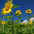Summer landscape with sunflowers — Stock fotografie