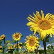Summer landscape with sunflowers — Stock Photo