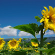Row of sunflowers in blue sky — Foto Stock