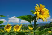 Row of sunflowers in blue sky — Stock Photo