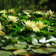 Water lily — Stock Photo #2979207