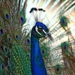 Stock Photo: Male Peacock (Pavo Cristatus)