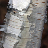 Bark of a Birch — Stockfoto