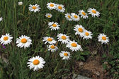 Marguerite Flowers — Stock Photo