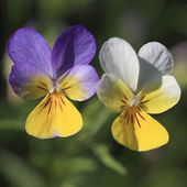 Violet Flower - Viola Tricolor — Stock Photo