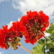 Red garden geranium - Pelargonium — Stock Photo