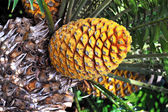 Cycad cone, Encephalartos Transvenosus - Monte Palace botanical garden, Mon — Stock Photo