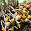 Close up of palm tree fruit - Cycas circinalis — Stock Photo