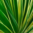 Close up of Yucca - abstract background — Stock Photo