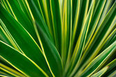 Close up of Yucca - abstract background — Стоковое фото