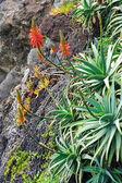 Aloe Vera flowering - healing plant - detail — Stock Photo