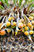 Close up of palm tree fruit - Cycas circinalis — Stock Photo