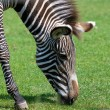 Zebra eating grass close up in zoo — Stock Photo