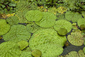 Bright green lily pads in a pond — Stock Photo