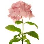 Постер, плакат: Pink hydrangea