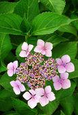 Růžové hortenzie keř — Stock fotografie
