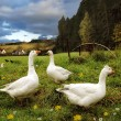 Geese on meadow - Stock Photo
