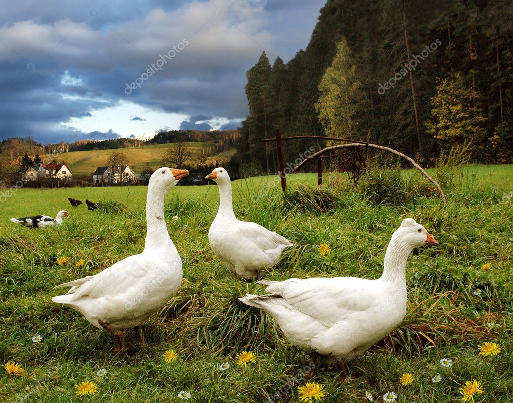 White geese on fresh grass in countryside scenery — Stock Photo #2754112