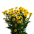 Stock Photo: Yellow chrysanthemums