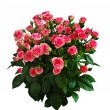 Big bouquet of pink roses - Stock Photo