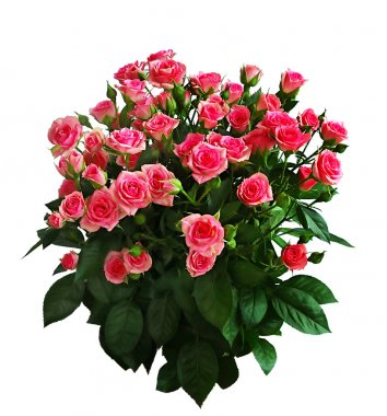 Big bouquet of pink roses