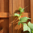 Fence and  the twined ivy — Stock Photo