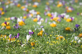 Crocus flowers on grass- spring background — Stock Photo