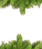 Green pine branches background — Stock Photo