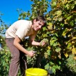 Picking Grapevine — Stock Photo #2736716