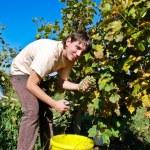 Picking Grapevine — Stock Photo