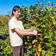 Picking Grapevine — Stock Photo