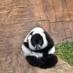 Lemur King — Stock Photo #3470416