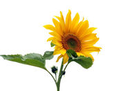Sunflower isolated on white — Stock Photo