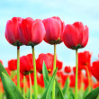 Tulips — Stock Photo #3027965